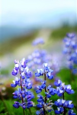 Preview iPhone wallpaper Blue lupines flowers, bokeh