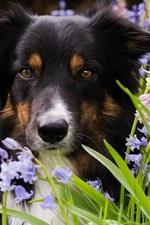 Border collie, dog, grass, flowers