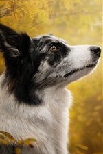 Preview iPhone wallpaper Border collie, dog, look, blurry background