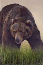Preview iPhone wallpaper Brown bear, grass, water, reflection