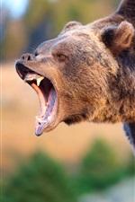 Preview iPhone wallpaper Brown bear roar
