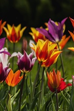 Preview iPhone wallpaper Colorful tulips flowers, spring