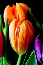 Preview iPhone wallpaper Colorful tulips, pink, orange, purple flowers, black background