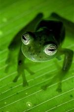 コスタリカ、両生類、カエル、緑葉