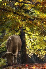 Preview iPhone wallpaper Cow in the forest, autumn