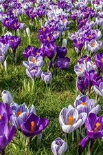 Preview iPhone wallpaper Crocuses field, spring