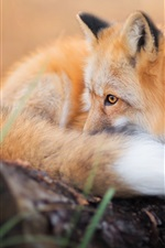 Preview iPhone wallpaper Cute fox rest, tail, look, eyes