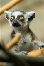 Preview iPhone wallpaper Cute lemur in tree