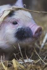 Preview iPhone wallpaper Cute pet pig