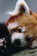 Preview iPhone wallpaper Cute red panda rest in tree