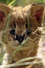 Bonito bebê serval gato