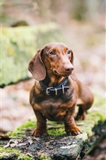 Preview iPhone wallpaper Dachshund dog, brown, bench