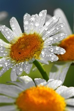 Preview iPhone wallpaper Daisy, white petals, water drops