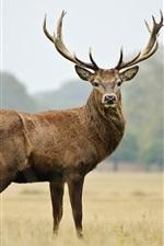 Preview iPhone wallpaper Deer look at you, horns, grassland