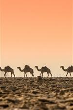 Deserto, camelos, amanhecer