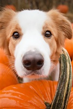 Preview iPhone wallpaper Dog and many pumpkins