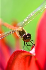 Dragonfly, red petals, macro photography