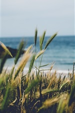 Preview iPhone wallpaper England, Cornwall, wheat, seaside