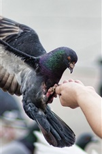 Preview iPhone wallpaper Feeding pigeon