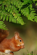 Preview iPhone wallpaper Fern leaves, squirrel