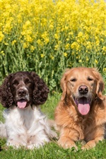 Four dogs, rapeseed flowers background