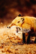 Preview iPhone wallpaper Fox yawn, animal photography