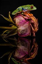 Preview iPhone wallpaper Frog, dry rose, mirror, black background