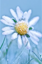Preview iPhone wallpaper Frost daisy, cold