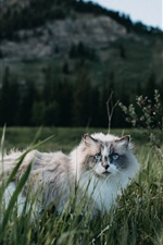 Preview iPhone wallpaper Furry cat walk in grass