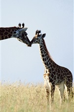 Preview iPhone wallpaper Giraffe, couple