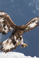 Preview iPhone wallpaper Golden eagle, predator, flight, wings, snow