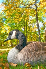 Preview iPhone wallpaper Goose rest in the forest