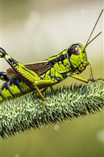 Preview iPhone wallpaper Grasshopper, insect, green background