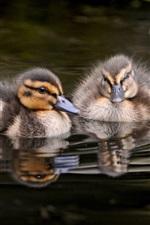 Preview iPhone wallpaper Gray ducklings swim in water