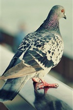 Preview iPhone wallpaper Gray feather pigeon, standing, fence