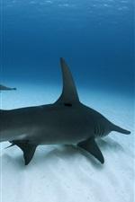 Great Hammerhead Shark, sea, underwater