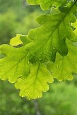 Preview iPhone wallpaper Green oak leaves, water drops