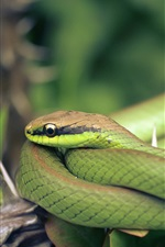 Preview iPhone wallpaper Green snake, thorn