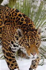 Preview iPhone wallpaper Jaguar walk in snow, predator, winter