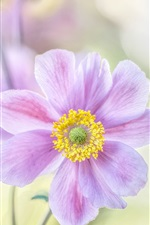 Preview iPhone wallpaper Japanese anemone, pink petals, macro photography