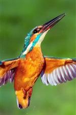 Vôo de martinho pescador, asas, gotas de água