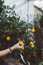 Preview iPhone wallpaper Kumquat, fruit, hand