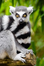 Preview iPhone wallpaper Lemur look at you, white and black stripes
