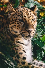 Leopard resto, rosto, gato grande, predador, grama