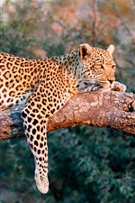 Preview iPhone wallpaper Leopard rest in tree, sunshine