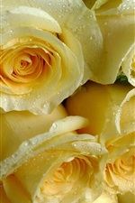 Light yellow roses, water drops