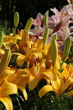 Lily flowers bloom, yellow and pink