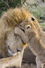 Leão e filhote, família, jogo