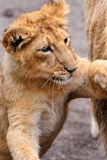 Preview iPhone wallpaper Lion cub, playful, family