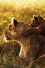 Preview iPhone wallpaper Lion family, affection, cub, grass, sunshine